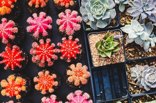 Are Succulents Poisonous