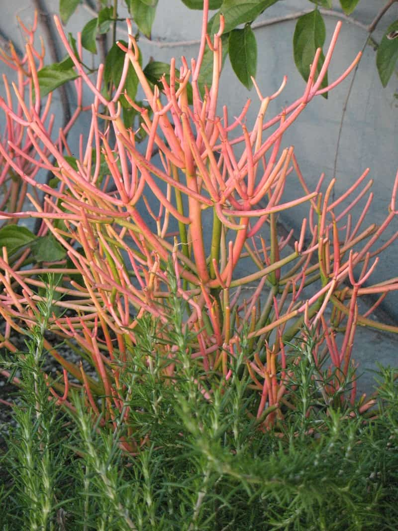 Sticks of Fire Succulent
