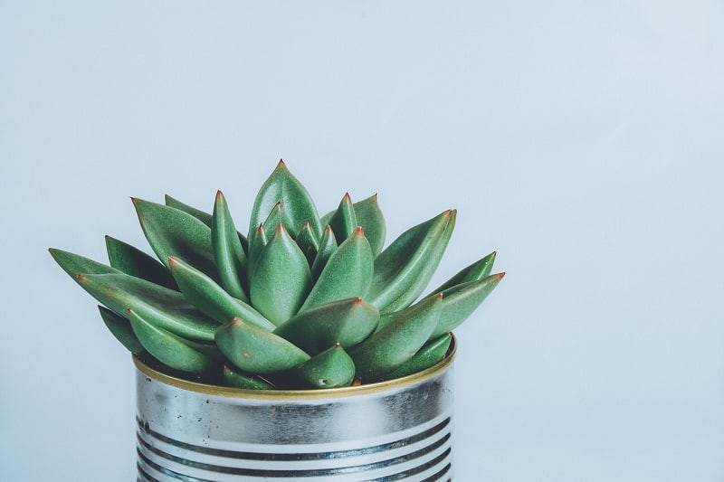 How to Revive a Dying Succulent Plant