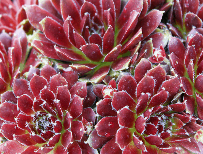 Sempervivum 'Jubilee'