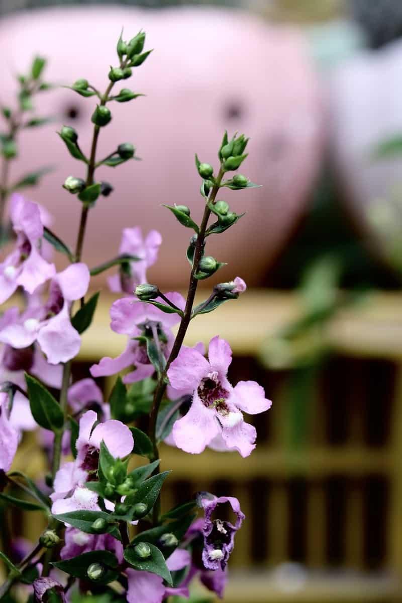 Angelonia Flower