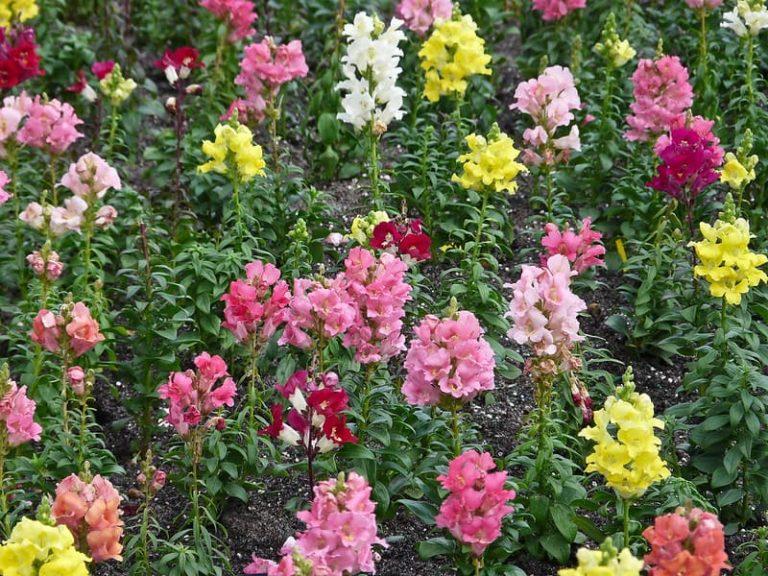Antirrhinum Majus Flower