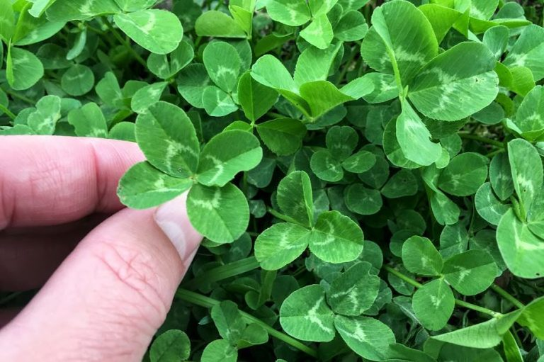 What Are the Chances of Finding a Four-Leaf Clover