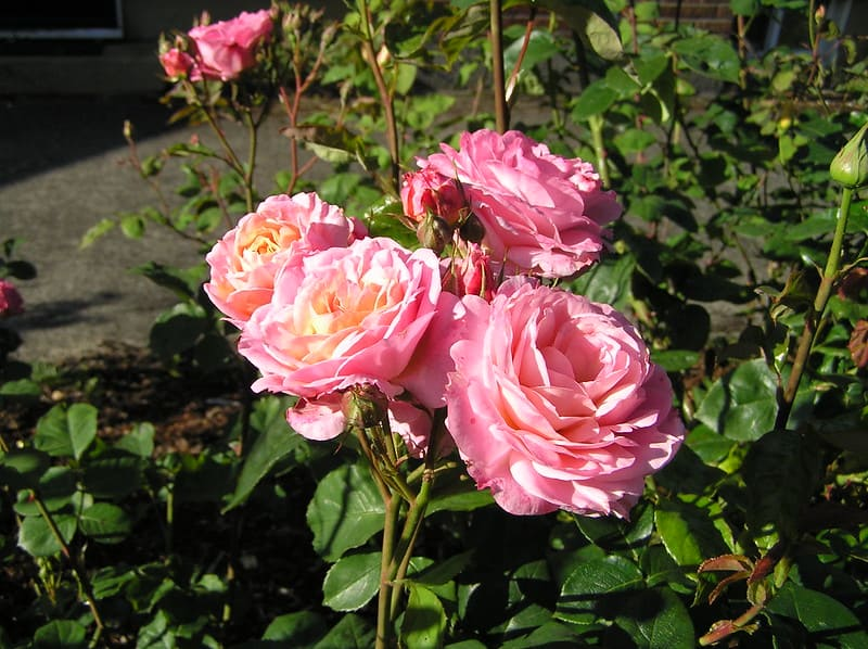 What Is the Best Month to Plant Roses