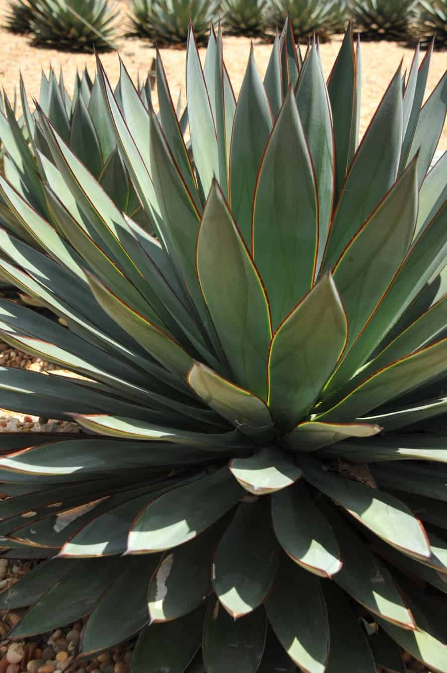 Agave 'Blue Glow