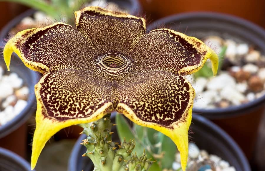 Edithcolea grandis 'Persian Carpet Flower'