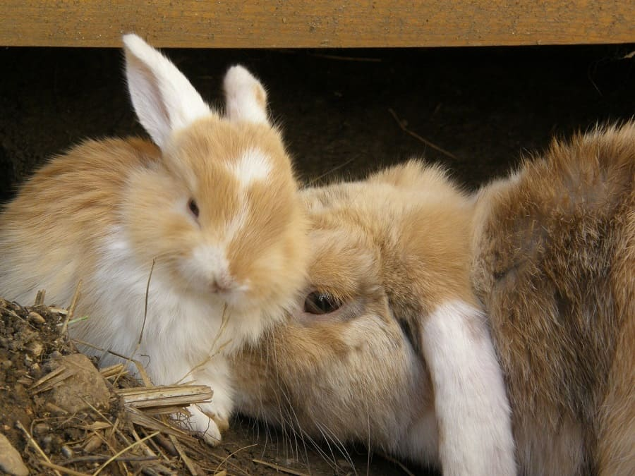 What to feed mother rabbit after giving birth