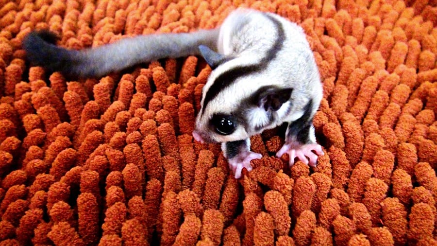 Are Sugar Gliders Legal in New Jersey