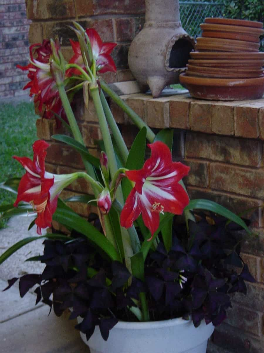 How to Rebloom Amaryllis