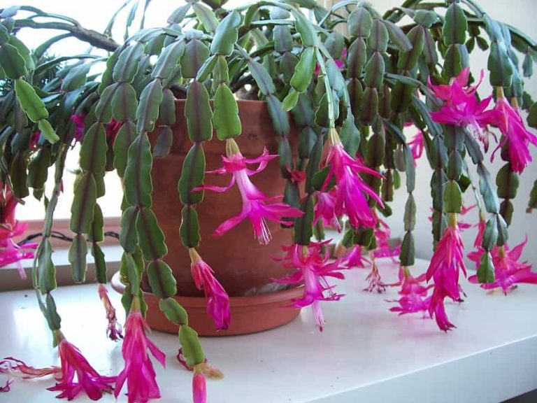 How to Rebloom a Christmas Cactus