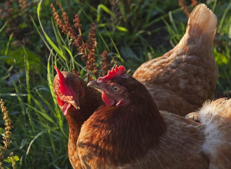 Can Chickens Eat Clover