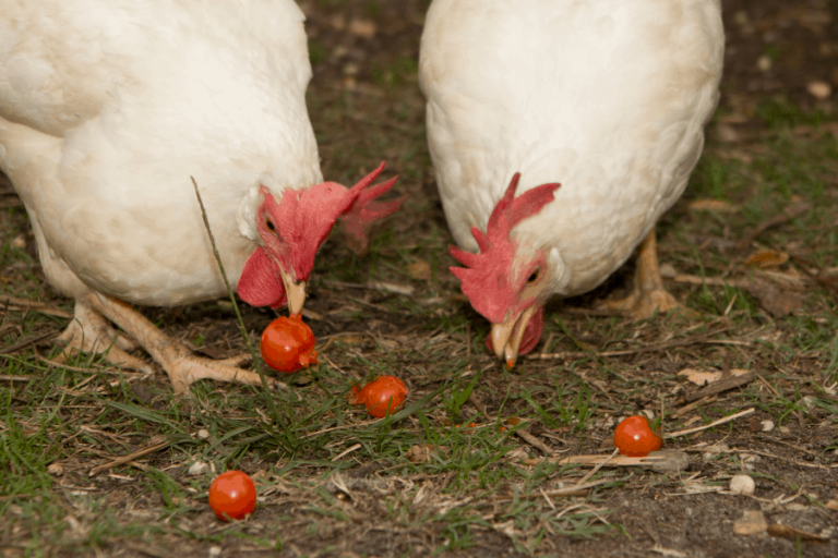 Can Chickens Eat Green Tomatoes