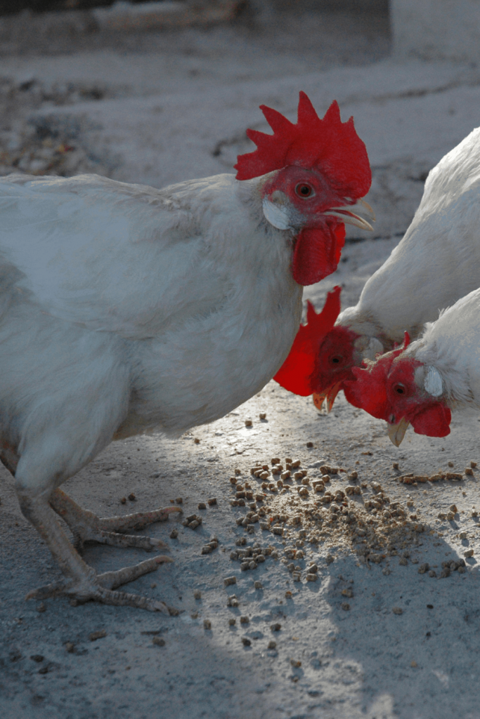 Can Chickens Eat Mayonnaise?