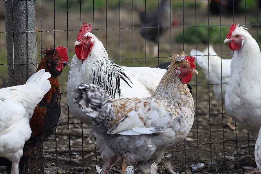 Can Hens Crow Like Roosters