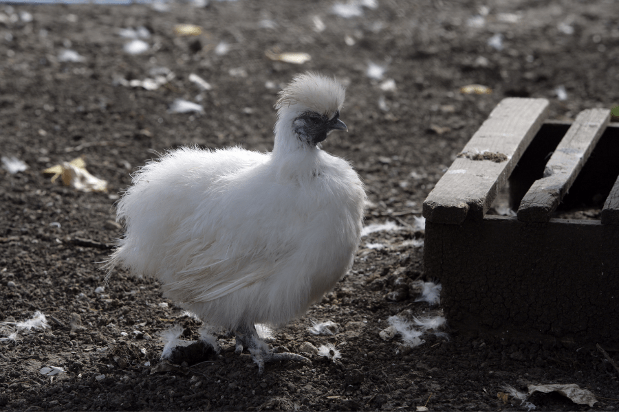 Silkie Rooster Characteristics