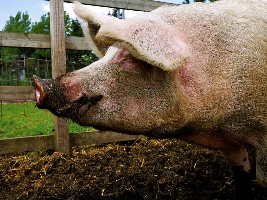 Can Pigs Eat Corn Cobs (Corn, Silk and Husks)