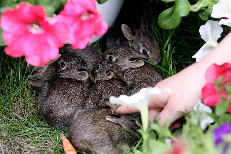 How Long Do Baby Bunnies Stay With Their Mother